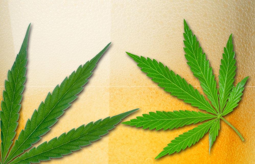 V Kanadě vyrábějí první marihuanové pivo na světě. Některé účinky má stejné jako samotná marihuana
