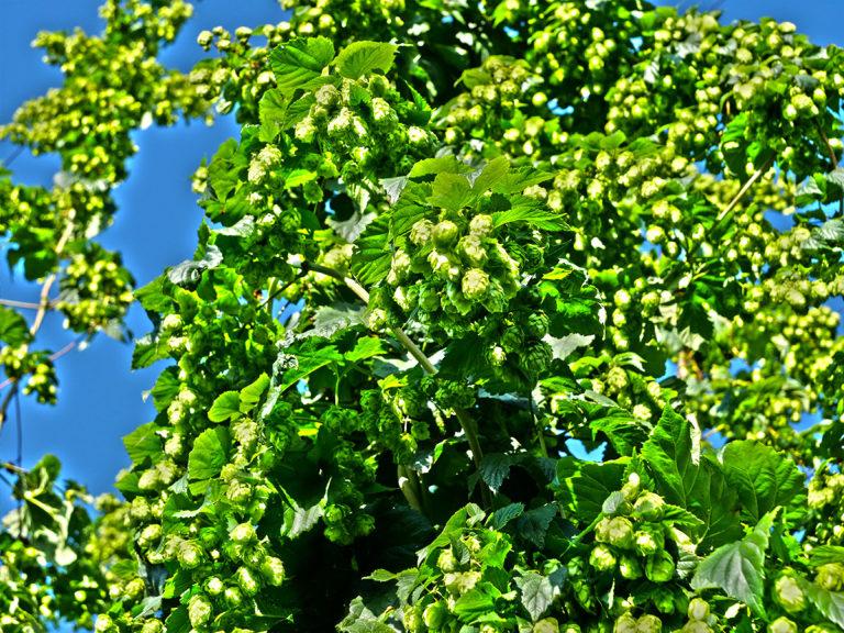 Dobré pivo bude, úrodu chmele na Žatecku pomohly vylepšit nedávné deště